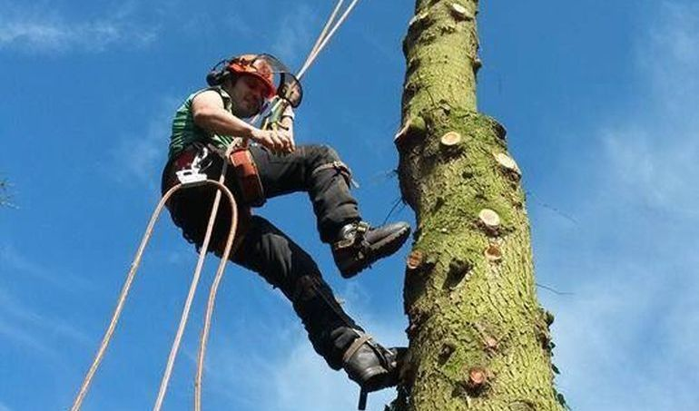 Climbing a large tree to prune back branches